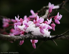 I'm not offended by all the dumb-blonde jokes because.... (itucker, thanks for 2.9+ million views!) Tags: cercis redbud variegatedeasternredbud floatingclouds macro snow pink raulstonarboretum bokeh