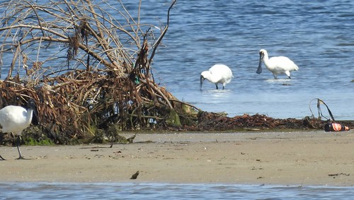Spoonbills, Nelson, Vic