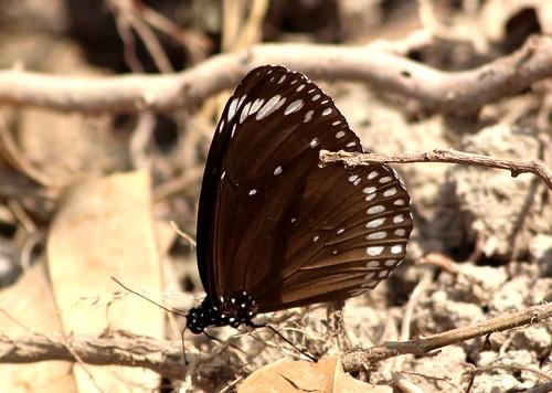 IMG_9572/Thailand/Koh Samui Island/Euploea Core Graminifera/male