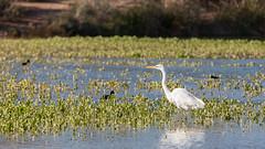 Great Egret - Gilbert Riparian Preserve - [Explore] (duncande150) Tags: explored explore az arizona birding birds canon5dmarkii canonef70200f28lisiiusm gilbert gilbertriparianpreserve greategret greatwhiteheron