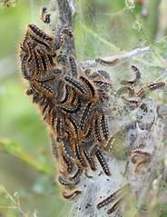 Brown-tail Moth Caterpillars! (RiverCrouchWalker) Tags: browntailmoth euproctischrysorrhoea caterpillar caterpillartent hibernacula heybridgebasin essex maldon april 2017 spring
