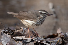 Louisiana Waterthrush (Jeremy Meyer) Tags: louisianawaterthrush louisiana waterthrush bird warbler lakepark