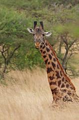 Resting Giraffe (with cleaning Oxpecker) - 7404b+ (teagden) Tags: resting giraffe masaigiraffe restinggiraffe jenniferhall jenhall jenhallphotography jenhallwildlifephotography wildlifephotography wildlife photography wild nikon nature naturephotography dkgrandsafaris safari safarisunday kenyasafari africasafari africansafari tsavo west tsavowest tsavokenya tsavoafrica kenya kenyawildlife kenyaafrica africa african africanphotography oxpecker
