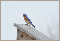 \/\/\/ House Hunting Bluebird? \/\/\/ (Wolverine09J ~ 1 Million + Views) Tags: aprilearlybirds2017 easternbluebird passerine songbird wildlife minnesota earlyspring birdhouse male level1thewondersofnature level2thewondersofnature naturespotofgoldlevel1 level1autofocus batslair