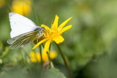 Piéris du navet (Pieris napi) mâle (aurelien.ebel) Tags: alsace animal basrhin france insecte lawantzenau papillondejour pieridae pierinae pierisnapilinnaeus 1758 piéridedunavet rhopalocères