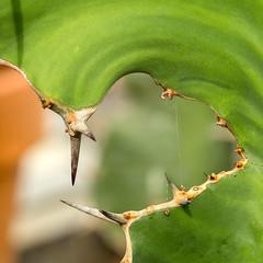 Natural Window (docoverachiever) Tags: plant spines macro nature cactus green squareformat spiderweb edge thorns bushpark 1352
