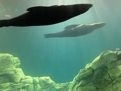 Sea Lions (HockeyholicAZ) Tags: odysea aquarium captive husbandry animal fish aquatic zoo arizona usa america tribal income revenue tourist attraction desert scottsdale