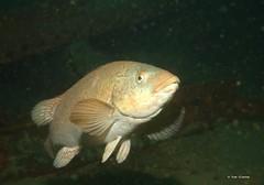 Ballan Wrasse (Oikoman) Tags: scuba farnes diving uk ballan wrasse fish