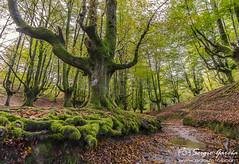 Salida País Vasco-5378 (sserrgio) Tags: hayedootzarreta bosque hoja musgo río árbol arratianervión euskadi españa es