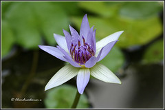 6824 - water lily (chandrasekaran a 40 lakhs views Thanks to all) Tags: waterlily lily flowers nature india chennai homegarden canoneos760d tamron90mm macro