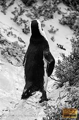 Walking away... (Edgar Guzmán) Tags: animal anmiales animals sudafrica sudáfrica southafrica pingüino penguin bw blancoynegro blackandwhite