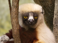 Coquerel's Sifaka (dennisgg2002) Tags: bronx zoo new york city nyc ny