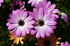 Purple to be - Quinta flower (Pensive glance) Tags: daisy marguerite flower fleur plant plante