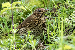 Songthrush - Carr Mill  (1 of 1) (g8196895) Tags: songthrush carrmill birds wildlife nature outdoors