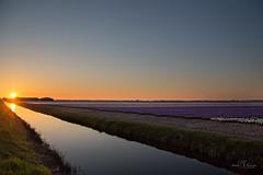 Evening light (Monika Kalczuga (on&off)) Tags: sunset evening hyacinths flowers netherlands holland landscape sky