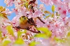 DSCF3031t (naofumitaguchi) Tags: fujifilm xm1 tokyo japan bird メジロ 富士フイルム naofumitaguchi sakura 日本 東京 桜 outdoor 河津桜 カワヅザクラ cherry blossom plant tree pastel mejiro japanese whiteeye flower macro