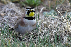 Horned Lark (ritchey.jj) Tags: hornedlark