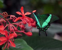 "A tighter crop (Wil James) Tags: sonya99mk2 sonyilca99m2 macro niagaraparksbutterflyconservatory mothbutterfly ontariocanada beautiful colours niagarafalls ""sonyflickraward"