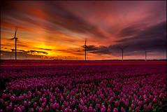 Even naar de pollen (maartenappel) Tags: bollen bloemen tulpen canon nederland boeren kleuren luchten molens wind windmolens