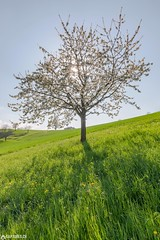Cherry blossom - Baselland (Captures.ch) Tags: 2017 baselland black bloom blue brown cherry flowers gras gray green light nature orange perfect rays red spring sun swiss switzerland tree white