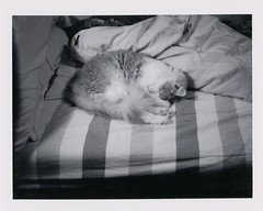 Ollie exactly where I want to be on this rainy morning (lydiafairy) Tags: blackandwhite bw monochrome polaroid landcamera230 fujifilm 3000b film analog instant peelapart roidweek daythree polaroidweek springroidweek cat feline caturday cuteoverload adorable ollie cozy unmadebed inviting donutkitty sleepykitty sleepy nap