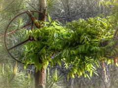Awaken Beast (clarkcg photography) Tags: vine grows growth leaves green tractorsteeringwheel cedarposts gorgeousgreenthursday
