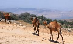 IMG_0285 (sally_byler) Tags: camels salalah oman animals