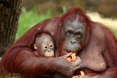 Baju en Wattana (K.Verhulst) Tags: baju wattana ape mensaap orangoetan orangoetang apenheul apeldoorn monkeys apen orangutan