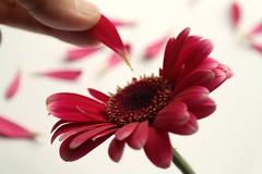 The everlasting question ... does he love me? (amanda.fotogaaf) Tags: love flower pink leaf hand gerbera greatphotographers