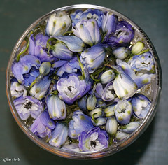 Delphinium flowers and buds. (Gillian Floyd Photography) Tags: blue delphinium flower