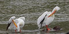Preening gets Compicated (Keith Carlson) Tags: americanwhitepelican pelecanuserythrorhynchos pelicans