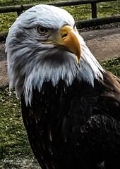 Weißkopfseeadler (Gina Biernath) Tags: weiskopfseeadler haliaeetusleucocephalus