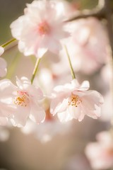 Sweet cherry (Jien Tohr) Tags: plants spring flower fewcolors fairlytale 桜 cherryblossom