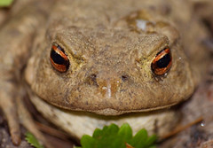 2017_04_0234 (petermit2) Tags: commontoad toad brodsworthhall brodsworth doncaster southyorkshire yorkshire englishheritage