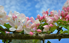 April Blossom (jamiegaquinn) Tags: april blossom crab apple tree crabapple appletree
