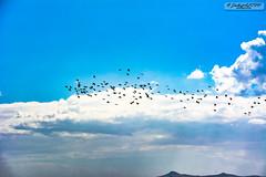 Kuşlar (zulkifaltin) Tags: baraj sahil su akarsu hirfanlı kırşehir balık kızılırmak göl doğa landscape water outdoor gökyüzü hayat kuş uçmak bulutlar balıkçı