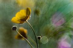 Spring time '17 - 0.18 (bresciano.carla) Tags: trioplan 100 mm pentax vintage bokeh bubble flower nature spring pentaxart