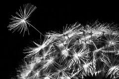 """I want to break free"" (fstop186) Tags: dandelion head macro taraxacum asteraceae daisy sunflowerfamily seed fine blackandwhite black white flower wild nature meadow herb medicine medicinal spring timeclock"
