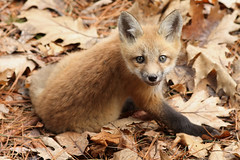 Renardeau / Red Fox (Yves Déry) Tags: renardroux renardeau redfox nature wildlife montreal québec mammifère mammal canoneos7d canonef300mmf4lisusm wildife cubs printemps2017 redfoxcubs vulpesvulpes