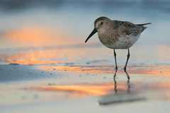 dunlin (leonardo manetti) Tags: uccello acqua animali nature wild wildlife animals animal bird birds beach sea nikon d810
