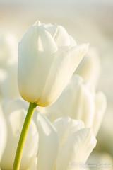 MDD_9173 (Martin Dijkman Dulkes) Tags: 2017 anna paulowna bloemen bloemendagen breezand flowers groot holland large nederland netherlands plants sunny tulipfields tulips tulpen tulpenvelden zon