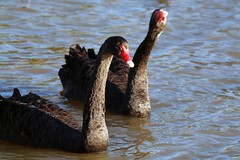 Pair of Black Swans on a Pond (publicdomainphotography) Tags: animal aquatic beak bird black blue countryside family fauna feather float floating fluffy fowl grace gray grey head lake living natural nature neck ornithology outdoor park plumage pond poultry reflection reservoir ripple river rural scene serenity shore single swan swim swimming water waterbird waterfowl wave wet wild wildlife wing