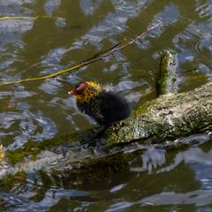 Recently hatched coot, River Avon, Stratford (Dave_A_2007) Tags: fulicaatra bird coot nature wildlife stratforduponavon warwickshire england