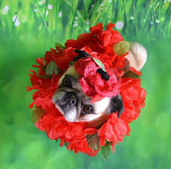 No flowers blooming yet to practice macro shots, so I improvised. (DaPuglet) Tags: alittlebeauty pug pugs dog dogs animal animals pet pets flower spring costume cute poppy flowers