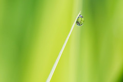 After the rain. (peggypryor68) Tags: garden bokeh 2017 macro leaf potd lily waterdrop cy365 4272017 april