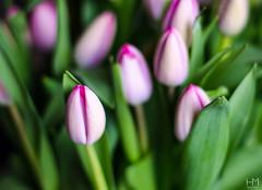 Tulip 27Apr2017 1-2 (Helen Mulvey) Tags: tulip flower pink 50mm prime depth field nikon d5100 dof dogwood2017 dogwood 52 dogwoodweek8 oneshot