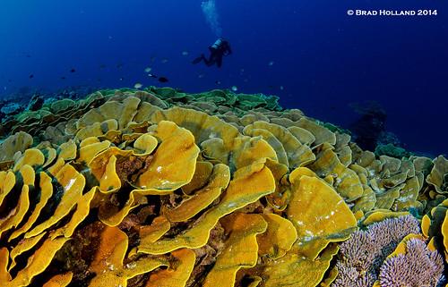 Coral © Brad Holland 2014