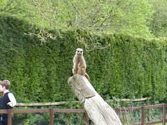 On Guard Duty - Meerkat. (FloraandFauna_2) Tags: meerkat thorp perrow arboretum bedale north yorkshire