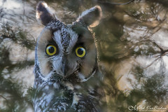 Long-Eared Owl (Explored) (Mitch Vanbeekum Photography) Tags: longeared owl longearedowl long eared morriscounty nj newjersey wildlife wild perched portrait mitchvanbeekum mitchvanbeekumcom canon14teleconvertermkiii canoneos1dx canonef500mmf4lisiiusm