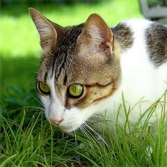 Bruno (No_Water) Tags: cute cat bruno katzengras brunocatcutetigerwhitegreeneyesblack